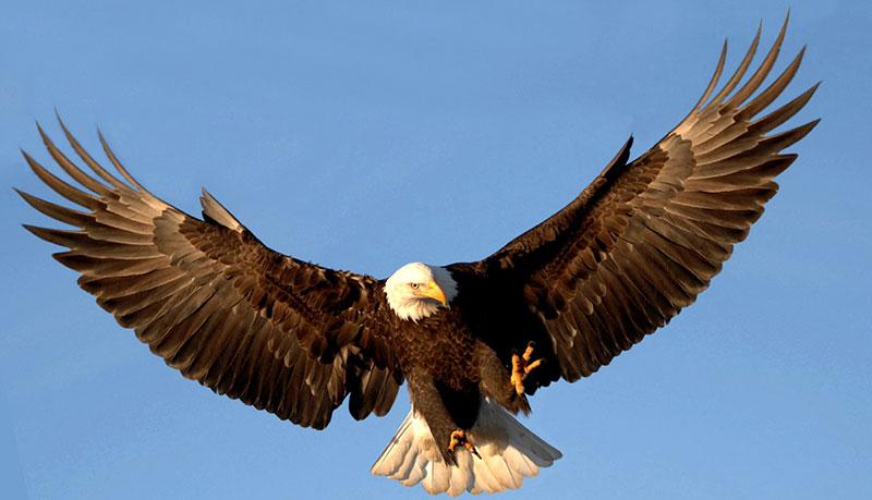 95 Foto Gambar Burung Rajawali Terbang Tinggi HD Paling Bagus Free