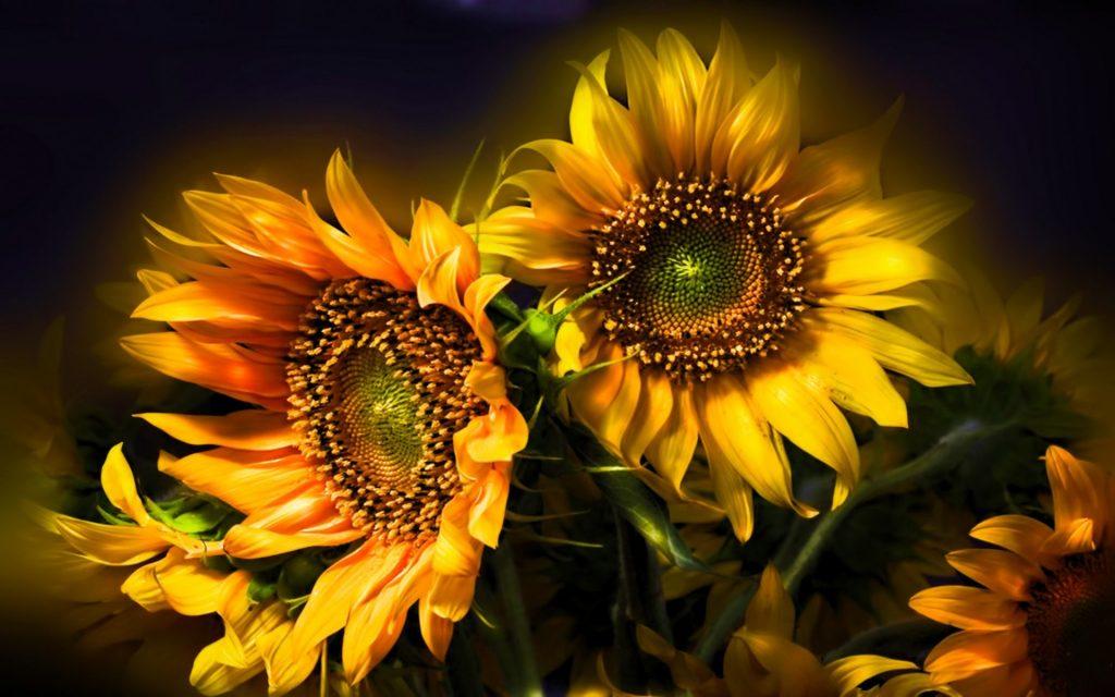 Filosofi Bunga Matahari Cerita Motivasi Iphincow Com