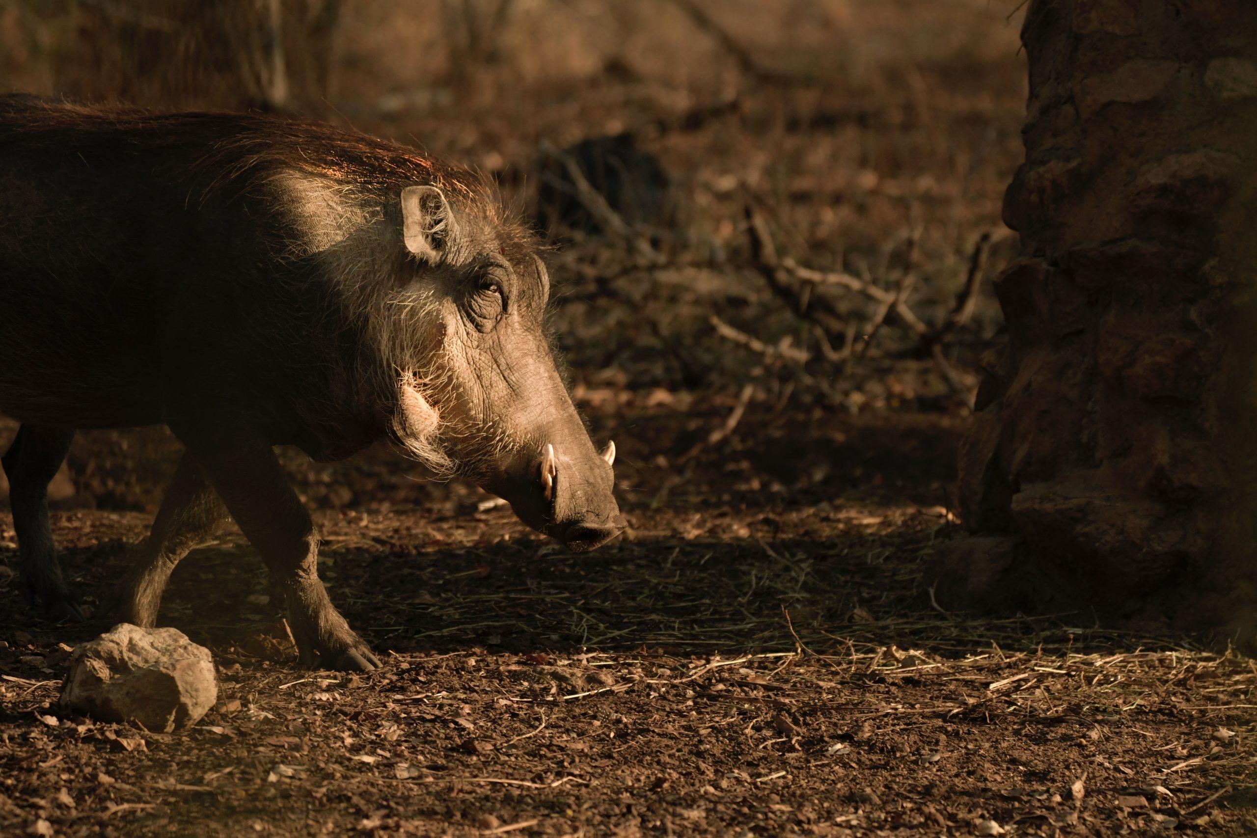 Kancil dan Babi Hutan yang Sombong